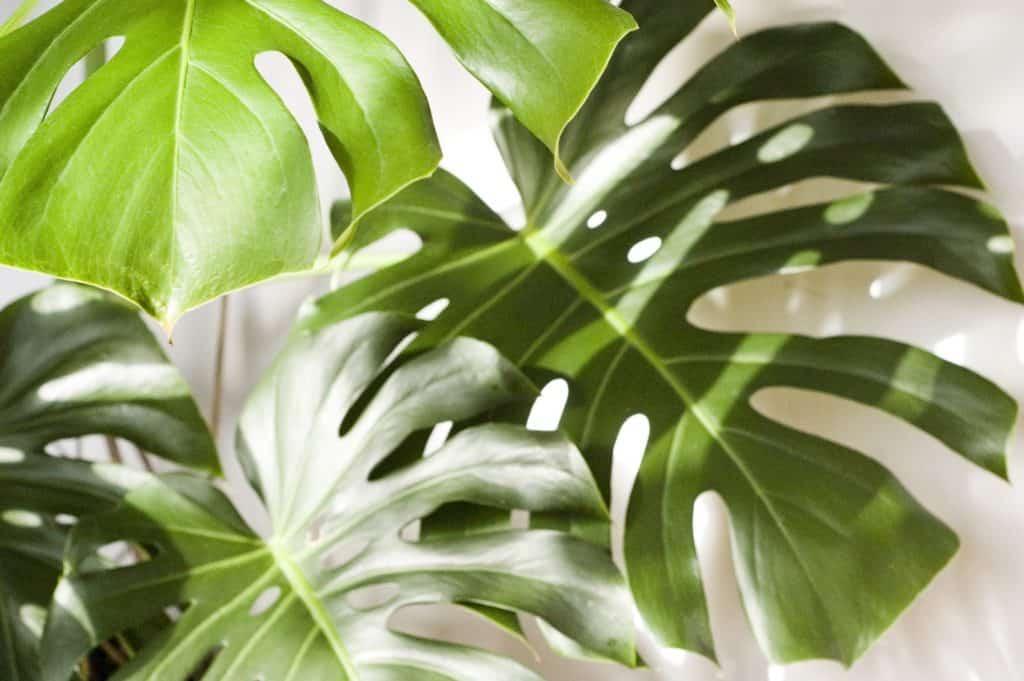 Der Klassiker: Die Monstera deliciosa - 7 unsterbliche Zimmerpflanzen